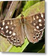 Speckled Wood Butterfly On A Leaf Metal Print