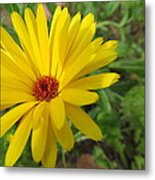 Speckless Yellow African Daisy Metal Print
