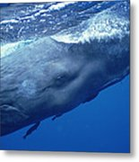 Sperm Whale With Remoras Dominica Metal Print