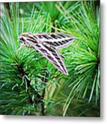 Sphinx Moth Metal Print