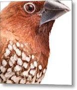 Spice Finch Lonchura Punctulata Portrait Metal Print