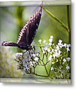 Spicebrush Swallowtail Butterfly Metal Print