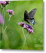 Spicebush Swallowtail Butterfly In Garden Metal Print