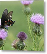 Spicebush Swallowtail Butterfly On Bull Thistle Wildflowers Metal Print