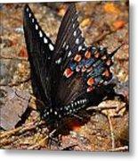 Spicebush Swallowtail Butterfly Preflight Metal Print