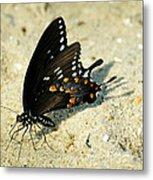 Spicebush Swallowtail Papilio Troilus  Metal Print