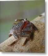 Spider Crab Metal Print