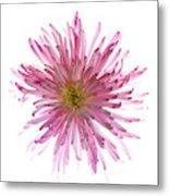 Spider Mum Flower Against White Metal Print