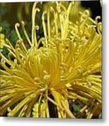 Spider Mums Maybe 2 Metal Print