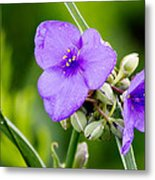 Spiderworts Metal Print