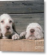 Spinone Puppies Metal Print