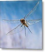 Spiny Baskettail Epitheca Spinigera Metal Print