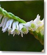Spiral Ladies' Tresses Metal Print