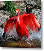 Splish Splash - Red Ibis Metal Print