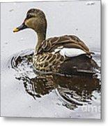 Spot-billed Duck  Metal Print