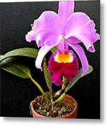 Spotlight On Purple Potted Cattleya Orchid Metal Print