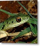 Spotted Bush Snake Philothamnus Semivariegatus Metal Print