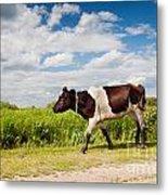 Calf Walking In Natural Landscape  Metal Print
