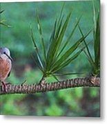Spotted Dove Metal Print
