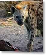 Spotted Hyena Metal Print