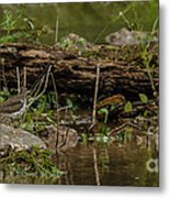 Spotted Sandpiper 2 Metal Print