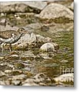 Spotted Sandpiper Pictures 36 Metal Print