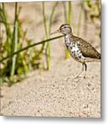 Spotted Sandpiper Pictures 45 Metal Print
