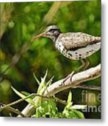 Spotted Sandpiper Pictures 48 Metal Print