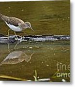 Spotted Sandpiper Pictures 61 Metal Print