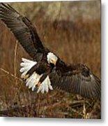 Spread Eagle Metal Print