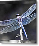 Spreading Her Wings Metal Print