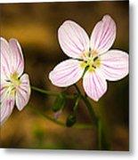 Spring Beauty Metal Print by Thomas Pettengill