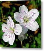 Spring Beauty Wildflowers - Claytonia Virginica Metal Print