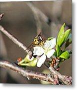 Spring Bee On Apple Tree Blossom Metal Print