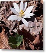 Spring Bloodroot Wildflower 2 Metal Print