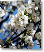 Spring Blossoms, Baltimore Metal Print