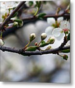 Spring Buds Metal Print