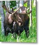 Spring Bull Moose Metal Print