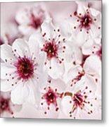 Spring Cherry Blossom Metal Print