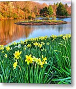 Spring Daffodils At Laurel Ridge-connecticut  Metal Print