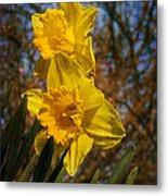 Spring Daffodils  Metal Print by Brian Roscorla