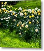 Spring Daffodils. Park Keukenhof Metal Print