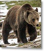Spring Grizzly Bear Metal Print