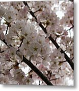 Spring Is Beautiful - A Cloud Of Pastel Pink Blossoms Metal Print