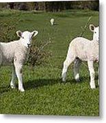 Spring Lambs Metal Print