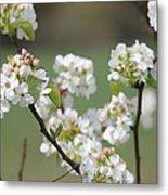 Spring Pear Blooms Metal Print