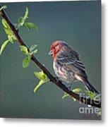 Song Bird In Spring Metal Print