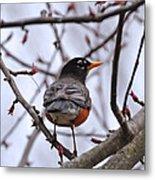 Spring Robin Metal Print