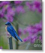 Spring Time Blue Bird Metal Print