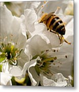 Spring Time Cherry Blossoms Metal Print